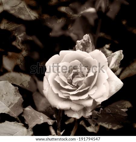 A toned, retro-stylized rose photo - stock photo