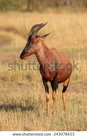 A topi antelope (Damaliscus korrigum), Masai Mara National Reserve, Kenya - stock photo