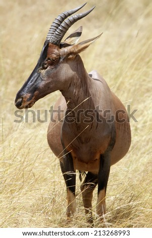 A topi (Damaliscus korrigum) on the Masai Mara National Reserve safari in southwestern Kenya. - stock photo