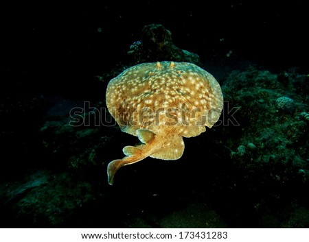 A torpedo (electric) ray swimming away on a coral reef - stock photo