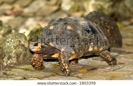 A tortoise walking on a stone path in Barbados. - stock photo