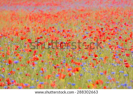 A touch of summer - field full of blooming poppies and cornflowers in Western Pomerania, Germany - stock photo