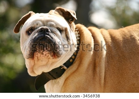A tough brittisch bulldog with a leather spiked collar. - stock photo