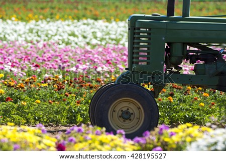 A tractor in amongst a row of buttercup flowers in a massive field being farmed for the floral industry. - stock photo