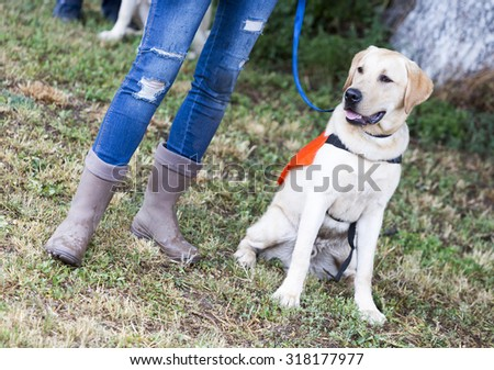A trainer is standing beside a golden retriever guide dog during the last training for the animal. The dogs are undergoing various trainings before finally given to a blind person.  - stock photo