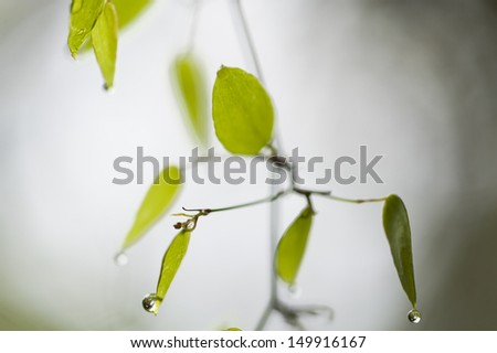 A tree branch with green leaves and water drops. - stock photo