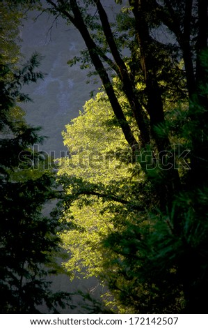 A tree in Yosemite National Park is highlighted by the setting sun, while others are already in shadow. - stock photo