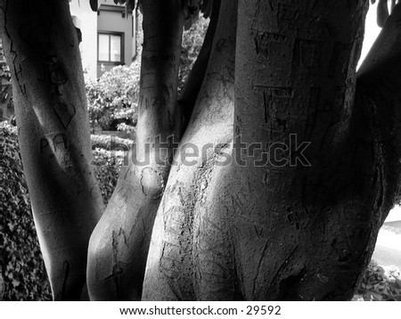 A tree on Lombard Street in San Francisco, many carvings are on it of past romances - stock photo