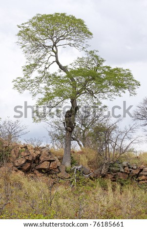 A tree outlined against the sky on a rocky ridge in African savanna - stock photo