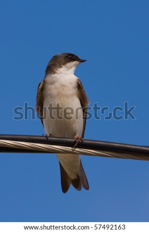 A Tree Swallow -Tachycineta bicolor - is perched on an electric wire,  enjoying a warm and sunny day. Quebec, Canada. - stock photo