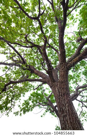 A tree with green leaves. Oak. isolated - stock photo