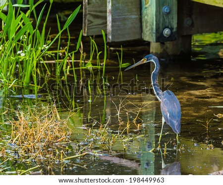 A Tricolored Heron wades in the shallow water amongst vegitation in search of food. - stock photo
