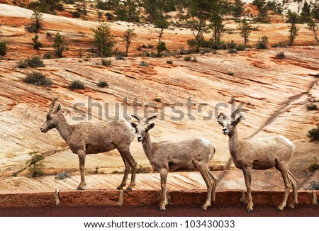 A trio of wild Mountain Goats by the roadside. Zion National Park, Utah, Usa - stock photo