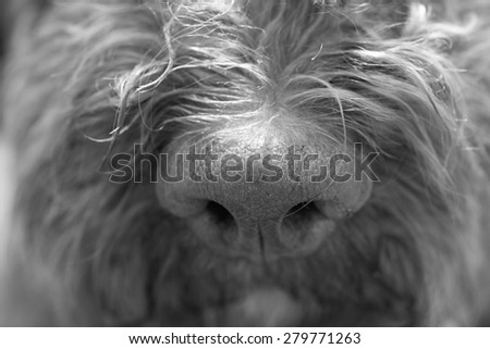 A truffle dog's nose. Image in black and white. - stock photo