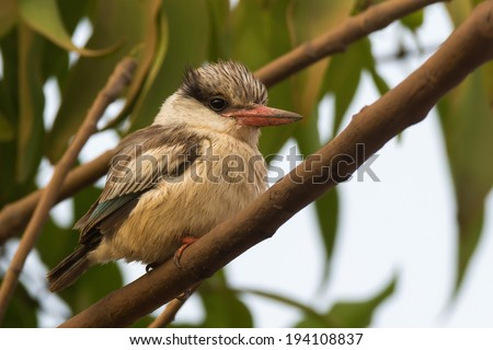 A tubby and fluffy Striped Kingfisher (Halcyon chelicuti) perched on a branch - stock photo