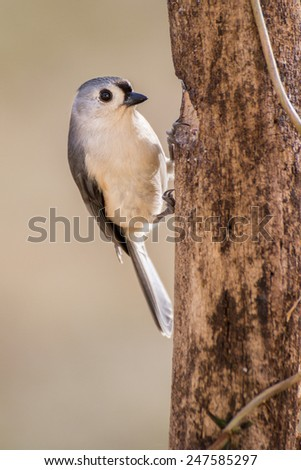 A tufted titmouse anchored against a pine tree. - stock photo