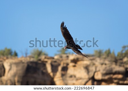 A Turkey Vulture (Cathartes aura) soars over the desert cliffs of Rockville, Utah, nearby Zion National Park. - stock photo