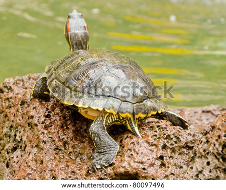 A turtle standing on stone - stock photo