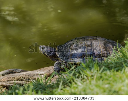 A turtle suns itself on the bank of a pond. - stock photo