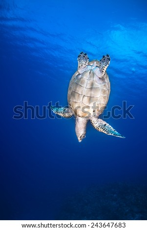 A turtle swimming for the bottom - stock photo