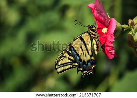 A Two-tailed Swallowtail Butterfly (Papilio multicaudata) alights on a hollyhock in a backyard garden. - stock photo