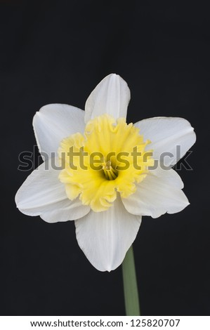 A two tone daffodil isolated on a black background - stock photo