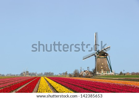 A typical Dutch composition of a windmill at the right with red and yellow flowering Tulip fields in the foreground against a clear blue sky - stock photo