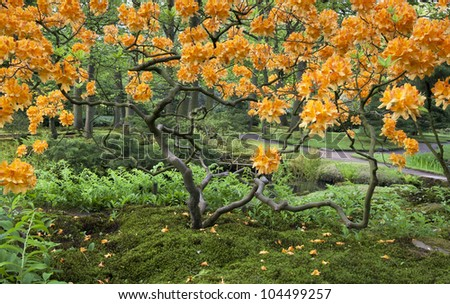 a typical japanese garden in spring with a beautiful orange tree - stock photo