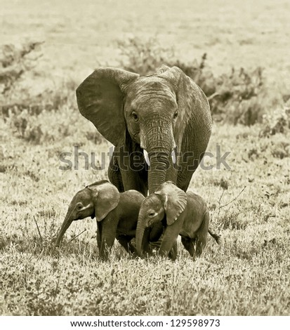 A unique female elephant with two of the young in the Serengeti National Park - Tanzania, East Africa (stylized retro) - stock photo