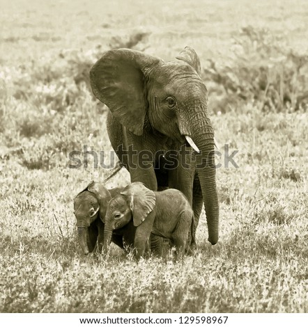 A unique female elephant with two of the young in the Serengeti National Park - Tanzania, Eastern Africa (stylized retro) - stock photo