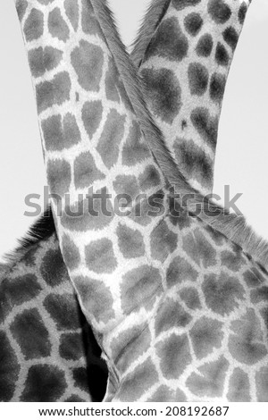 A unique image of two giraffe and there patterns. - stock photo