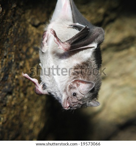 A Vampire bat hanging from the roof of its cave - stock photo