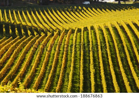 a van passing by a vineyard in Adelaide Hills in the golden autumn - stock photo
