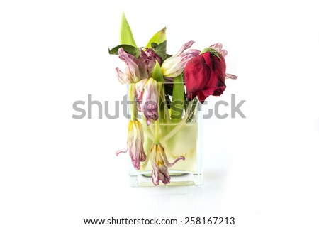 A vase full of withered and dead flowers (tulips). Isolated on white. - stock photo