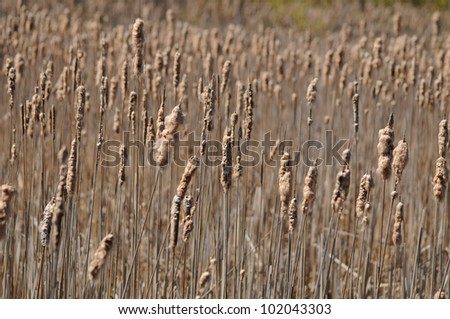 A vast array of dried bulrushes in spring wetland area - stock photo