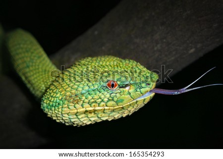 A venomous Wagler's Green Tree Pit Viper (Tropidolaemus wagleri) looks at camera and flicks tongue in Borneo jungle. AKA Temple Viper because of abundance around Temple of the Azure Cloud in Malaysia. - stock photo