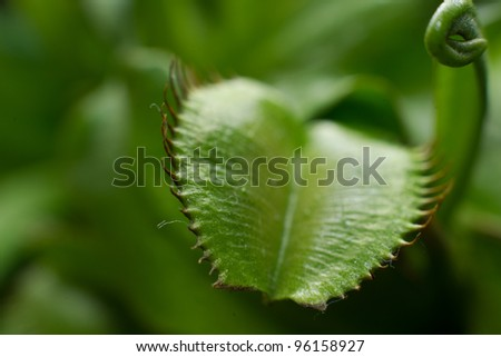 A Venus Flytrap Dionaea muscipula plant macro - stock photo