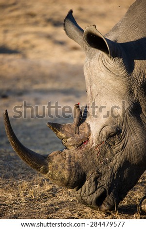 A vertical, close up, colour image of the face of an endangered white rhino, grazing. - stock photo