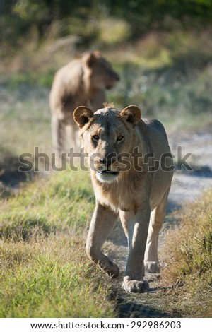 A vertical, color image of a young lion walking down a game trail toward the camera with an out of focus lion in the background, in Machaba, Botswana. - stock photo