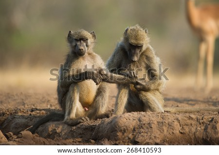 A vertical, colour photo of a baboon holding the hand of another baboon with closed eyes. - stock photo