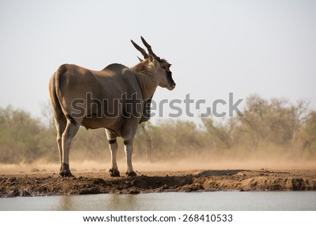 A vertical, colour photo of the rear of an eland bull gazing into the dust beyond the waterhole - stock photo