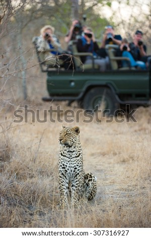 A vertical, colour photograph of a group of onlookers on a safari vehicle watching and photographing a leopard sitting in tall dry grass at Elephant Plains, Sabi Sands Game Reserve. - stock photo