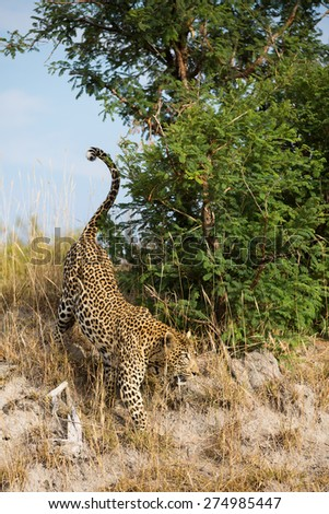 A vertical, colour photograph of a leopard walking down a slope beside a green bush. - stock photo