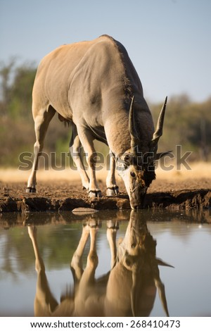 A vertical colour photograph of an eland bull and his reflection drinking at a waterhole. - stock photo