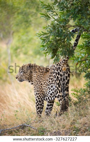 A vertical, full-length, rear view colour photograph of a large leopard, Panthera pardus, scent-marking his territory at Elephant Plains, Sabi Sands Game Reserve, Mpumalanga Province, South Africa. - stock photo