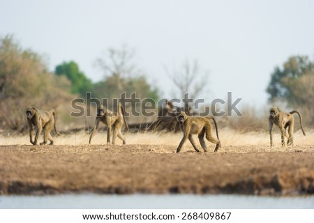 A vertical photo of a gang of four young baboons looking for trouble - stock photo