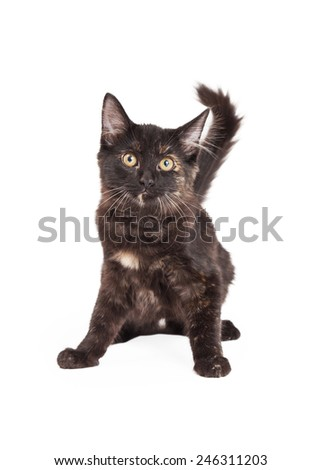 A very alert Black and Tan Domestic Longhair four month old kitten sitting and ready to move.  - stock photo