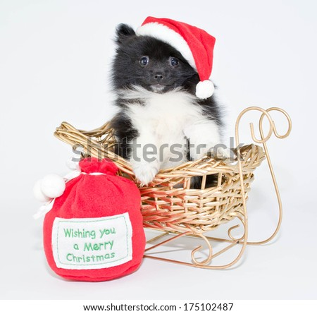 A very cute black and white Pomeranian puppy sitting in a sled wearing a Santa hat. - stock photo