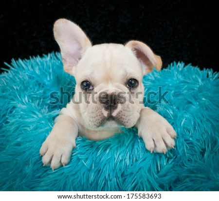 A very cute French Bulldog puppy sitting in a blue blanket on a black background. - stock photo