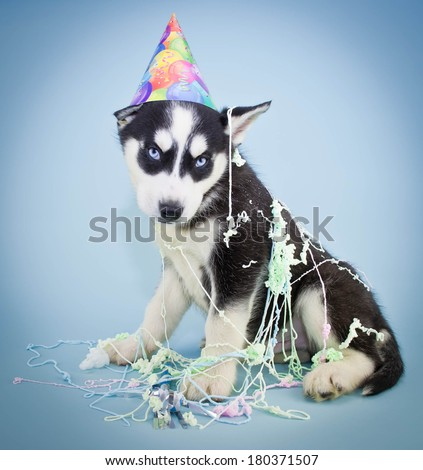 A very cute Husky puppy wearing a Birthday hat with silly string all over him, with a sweet look on his face. - stock photo